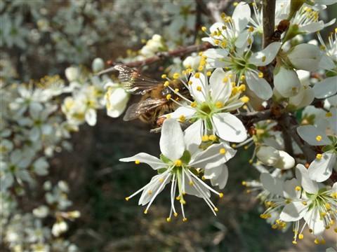 Flor de Arañon
