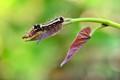 Early Caterpillar