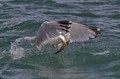 Herring gull with fish in beak