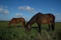 Horses in Amrum