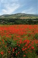 Poppy Field in Umbria