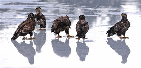 5 EAGLES ON ICE PANO 1200P