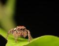 Jump Jumping Spider