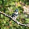 Belted Kingfisher    09 28 2015   003