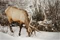 Elk in Lamar Valley Snow Storm