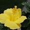 Yellow Hibiscus5