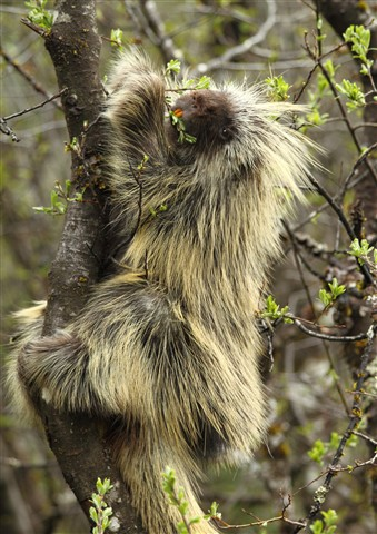 Alaska Porcupine
