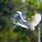 Snowy egret flying _MG_1170