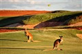 Kangaroos at Kalgoorlie