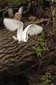 Mendota Egret