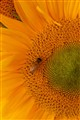 The honey bee is on top of sunflower