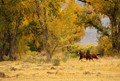 Horses run freely amongst the changing fall colors on a ranch in Northern California.