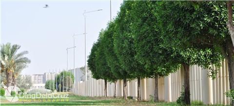 Trees of Arabia 02