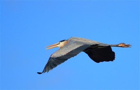 Great Blue Heron2