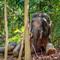 Elephant Borneo 06