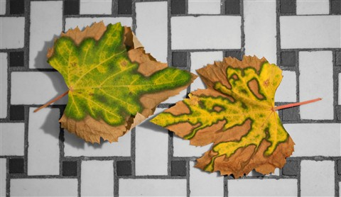 grape leaves desaturated background 3
