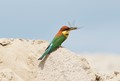 Though it feeds mainly on bees and wasps, all flying insects are food to this bee-eater. All the prey are caught on the wing.
