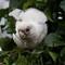 Little Corella  ( Cacatua sanguinea ):