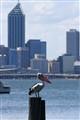 Pelican in Perth City