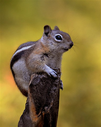 Chipmunk on Stump