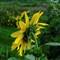 Sunflower_edited