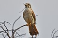 Kestrel-with-Mouse