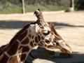 Giraffe @ Zoo
