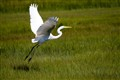 Great Egret taking off Stone Harbor NJ