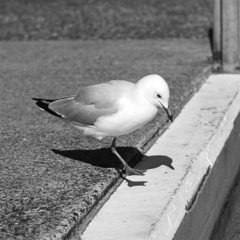 Gull 0694