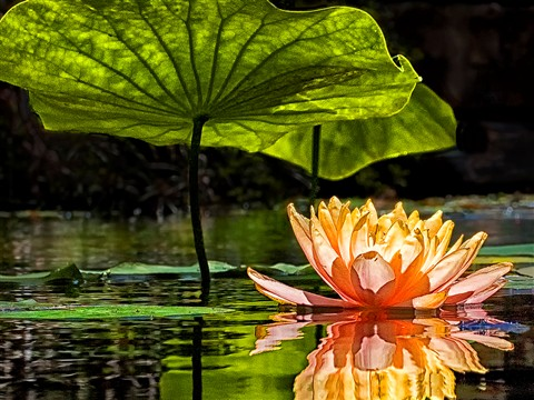 Water Lily & Pad. challenge_1020129
