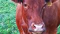 Lisa The Cow