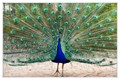 Peacock_in_Sevilla