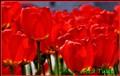 Tulip_5508