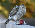 Red Tail Hawk eating a Dove