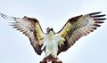 Osprey Love, the Mating Game