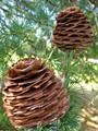 Lebanon Cedar Cones