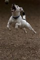 Dog Jumping (Small)
