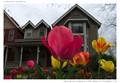 Tulips in Golden, CO