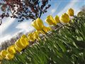 Tulip Slide