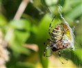 argiope bruennichi eating a dragonfly