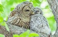 Barred Owl and Owlet