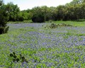 Blue Bonnet Field