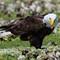 Eagle Eating 4