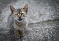 Italian farm kitten