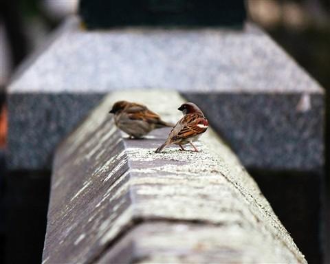 Melbourne Sparrows