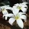 whiteflower-col
