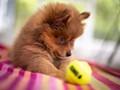 Pom puppy with Ball