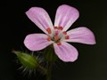 Tiny Wild Flowers (Herb Robert)
