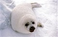 seal pup on ice floe
