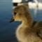 duckling-XL